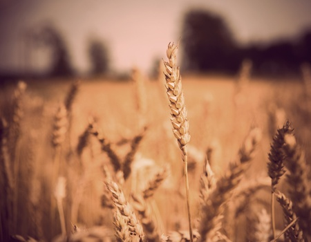 close-up of stalk of wheat in a field with vintage look