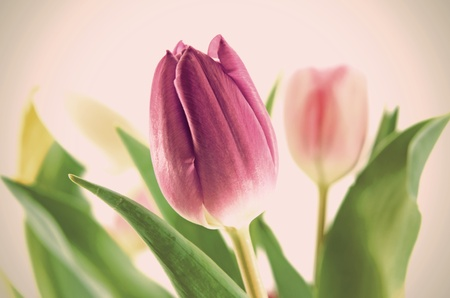 Purple tulip with blurred tulips of other colors in the background Stock Photo - 11888448