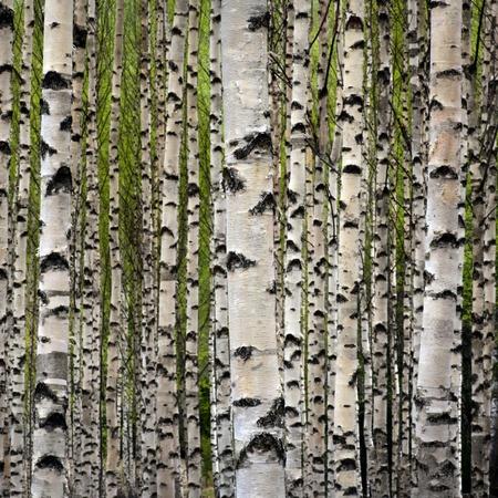 arboleda: Bosque de árboles de abedul con hojas verdes en primavera