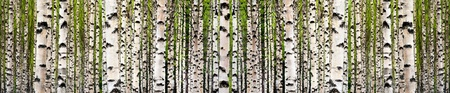 Wallpaper image of birch tree forest in spring photo