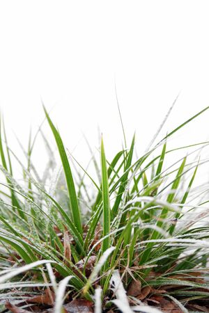 rime frost: green grass with snow on white background Stock Photo