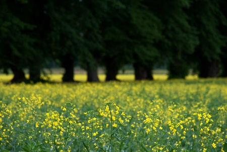 rapeseed: Close up of rapeseed flowers with avenue in background Stock Photo