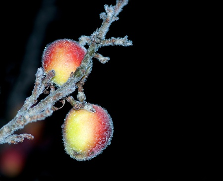 hoar frost: Apples covered in hoar frost on black background