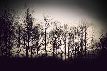 bare trees: grove of back lit bare trees in winter