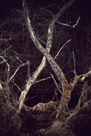 dry trees in swamp area with spooky feeling photo