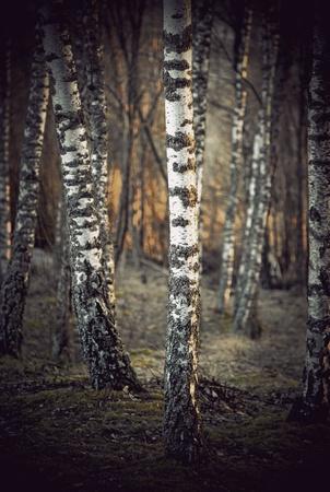 birch bark: Bare birch trees at sunset in spring