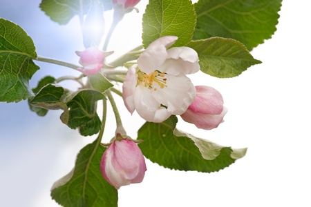 Close up of cherry flower in early evening Stock Photo - 12441084