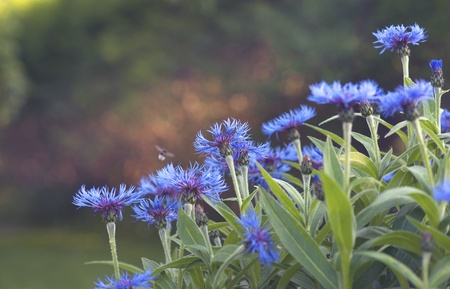 Bunch of cornflowers with blurred bee in a field