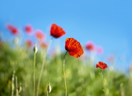 Red wild poppies on bright blue sky