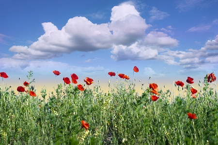 Field of red wild poppies with blue sky photo