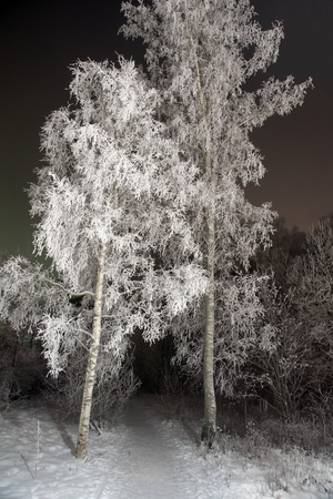 rime frost: Two birch trees covered in rime frost on cold winter evening