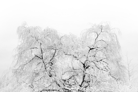 rime frost: Bare tree with rime frost in winter