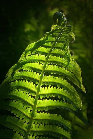 close up of unfolding fern in evening light photo