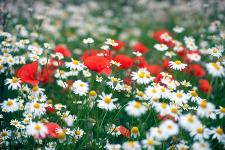 Daisies and wild poppy flowers in a field photo