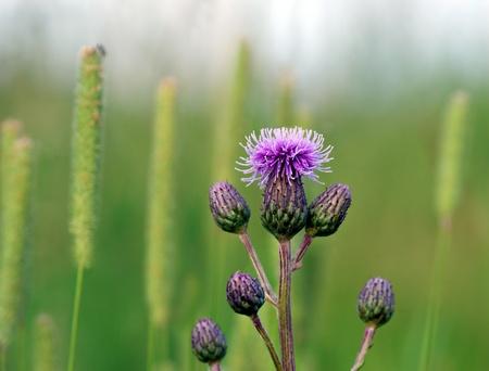 Zbliżenie fioletowe osty w lecie
