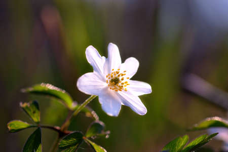 windflower: wood anemone or windflower in forest in spring Stock Photo