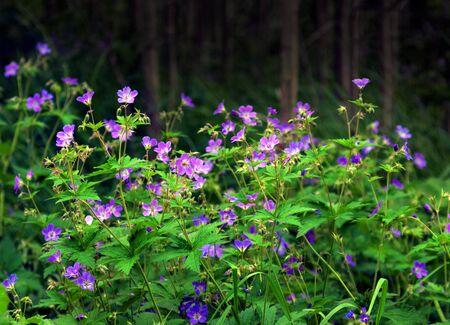 geranium: Bunch  of wood cranesbill or woodland geranium in forest