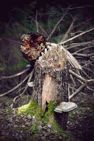 fallen old tree with tree mushrooms  in wilderness photo