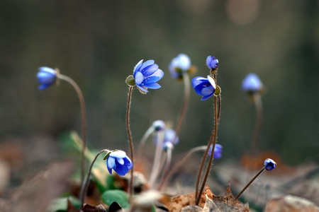 Snmall flowers anemone hepatica nobilis  liverleaf  in early spring photo