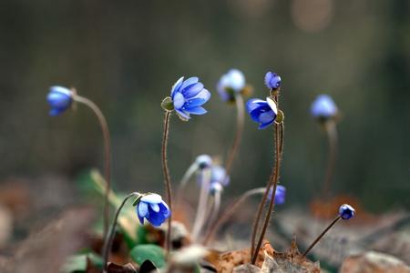 hepatica: Snmall flowers anemone hepatica nobilis  liverleaf  in early spring