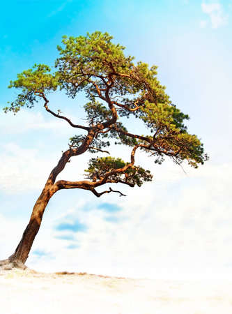 crooked: Small crooked conifer on bright summer day Stock Photo
