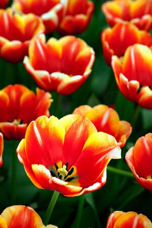 beautiful red tulips close up: Close up of red and yellow tulip in flower bed Stock Photo
