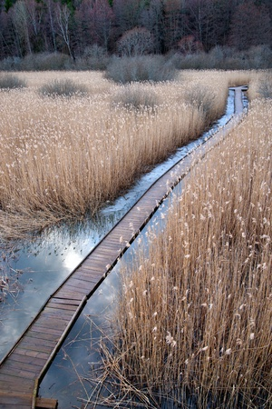 boardwalk path through swamp with reeds in early spring photo