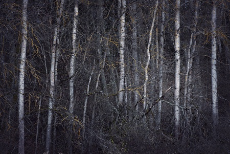 Thick spooky forest with bare trees and fungus photo