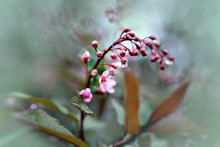 flower close up: Flower buds on fruit tree with water drops Stock Photo