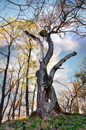 arboles secos: Viejo roble poderoso a principios de primavera
