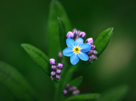 small purple flower: Close up of small forget-me-not flower and buds on green background Stock Photo