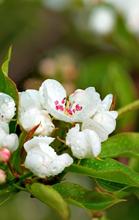 Close up of flower in apple tree after rain photo