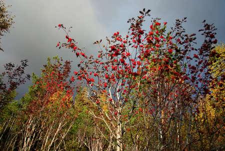rowan tree: Forest with rowan tree on sunny autumn day