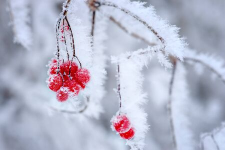 hoar: Close up of red berries covered in ice crystals Stock Photo