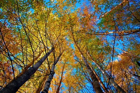 Tree canopy in autumn birch forest on blue sky photo
