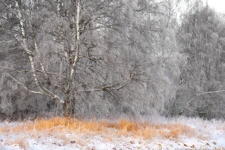 rime frost: big birch tree with rime frost in winter landscape
