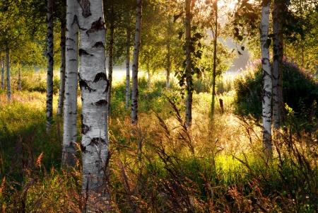 birch trees: Birch trees in summer landscape