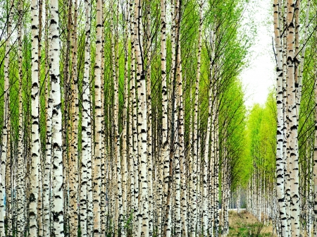 birch forest: Birch trees with fresh green leaves in spring Stock Photo