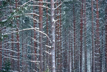 Background of tree trunks covered in snow photo