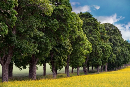 field maple: Avenue of maple trees with rape seed oil field in foreground Stock Photo
