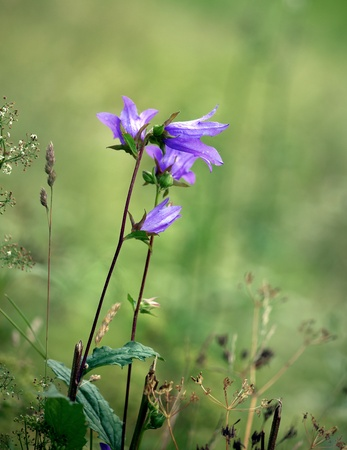 Close up of purple bell flower on green background photo
