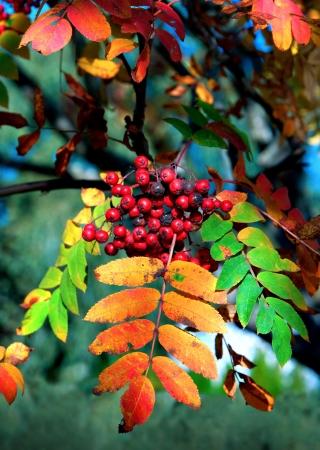 Rowan berries on rowan tree with colorful autumn leaves Standard-Bild