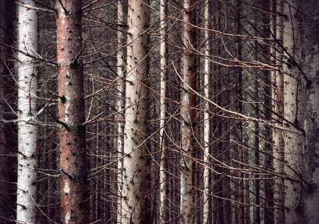 bare trees: bare trunks in thick scary forest