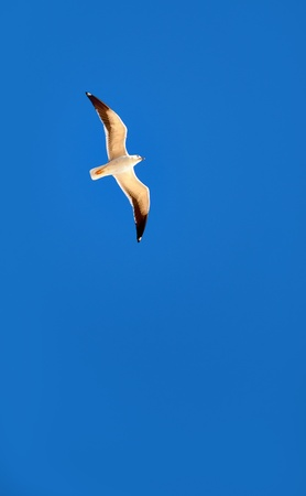 Brightly lit flying seagull on blue sky photo