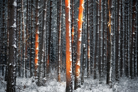 Thick forest of pine trees in winter sunlight photo