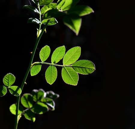 rose bush: Back lit leaf of rose bush on dark background Stock Photo