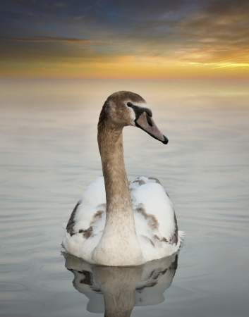 Young swan with orange sunset in background photo