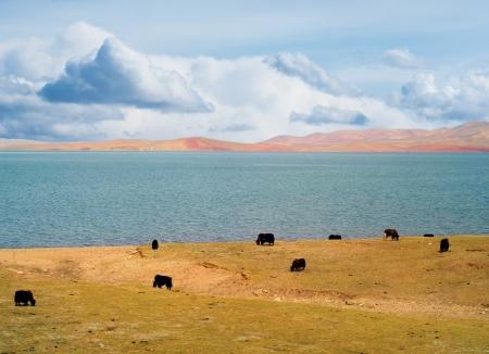 high plateau: Grazing yaks near lake in high plateau in Tibet