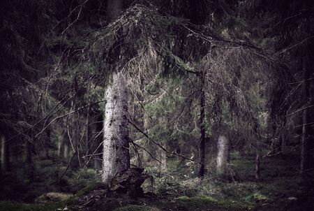 Wild spooky dark forest with old spruce trees  photo