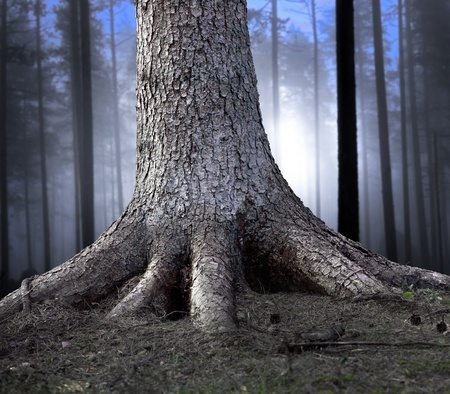 rooted: Big tree firmly rooted in the forest, with hazy blue forest in background